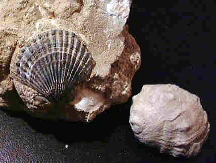 Replacement of mollusk fossils