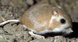 Heteromyidae - JungleKey.fr Image